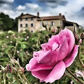 Майската роза на фона на провансалската къща на Chanel
