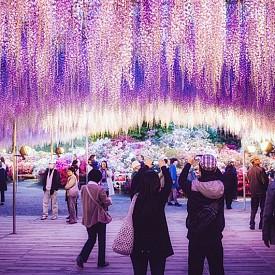 Най-голямата глициния в света в парка Асикага в Япония