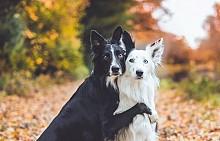 Гушкащите се кучета на Кели