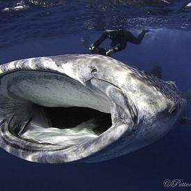 КИТОВА АКУЛА /  Петери Вилякайнен е финландски фотограф, който започва да прави подводни снимки през 2004 г., но вече е носител на няколко награди.