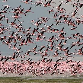Милиони розови фламинго на езерото Накуру в Кения