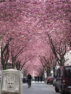 ЧЕРЕШОВИ ЦВЕТОВЕ, ГЕРМАНИЯ  Тези черешови дървета са засадени през 1980 г и са се превърнали в изключително известна гледка през последните няколко години. Булевардът буквално се оцветява в розово през пролетта и се задържа така в продължение на две седмици през април. Струва си да сте в Бон по това време на годината.