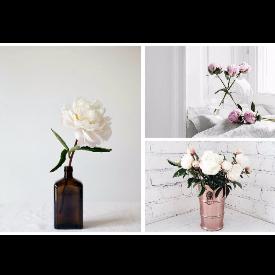 Защо божурите са сред най-красивите цветя?