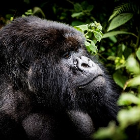 Ако сте настроени за приключения, BISATE LODGE ще ви организира поход по следите на горилите, за да наблюдавате животните в тяхната естествена среда.