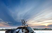 Главните представители на фауната в Рука са северните елени.