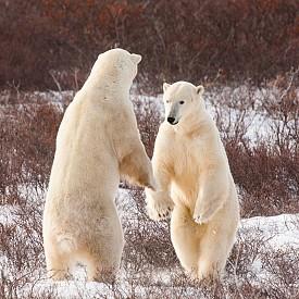 В малкия град Чърчил често навлизат бели мечки, а за тях се грижи специално създадена служба. На прага на почти всички къщи в градчето са поставени постелки от шперплат, на които са забити пирони. Те имат за цел да отблъскват животните, които няма да се поколебаят да нападнат стопаните.
