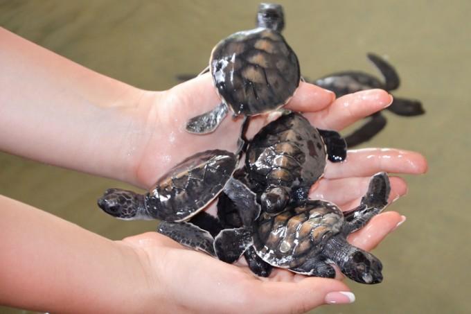 Морските костенурки са един от символите на Бентота
