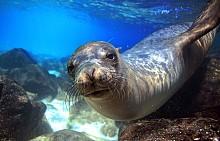 Любопитен тюлен, Галапагоски острови