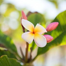 В Кауаи ще видите й цветето франджипани