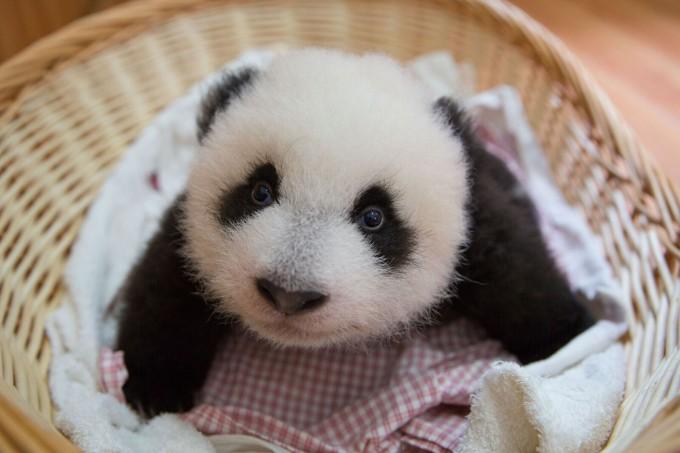 """""""Панда бебета"""" (на 4 октомври от 19:10 ч. по Viasat Nature) е..."""