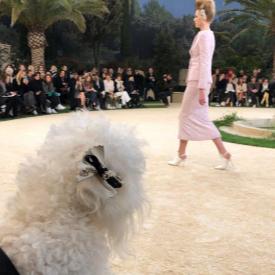 Варненският пудел Саша от първия ред на Chanel